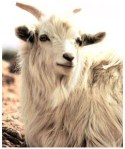 This is a cashmere goat, isn't he cute?!