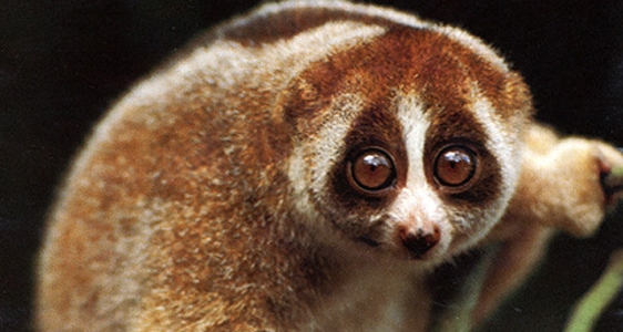 slow loris, cute animal