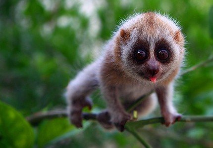 slow loris, cute animal, weird animal, big eyes