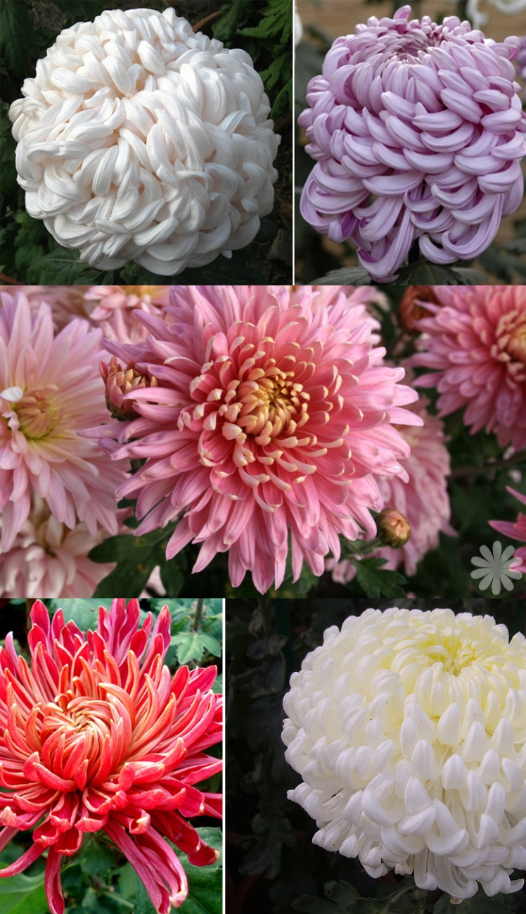 chrysanthemums, flowers, moodboard, styleboard, inspiration, pink flower, fashion, pretty, romantic